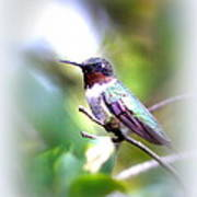 Hummingbird - Beautiful Art Print