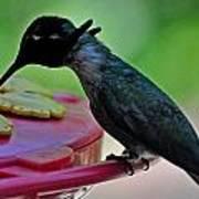 Hummingbird Costa's At The Feeder Art Print