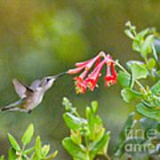 Hummingbird Dives In  Art Print