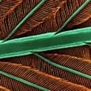 Hummingbird Feather Shaft Art Print