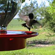 Hummingbird Flying To The Feeder Art Print