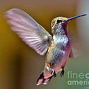 Hummingbird Frolic Art Print