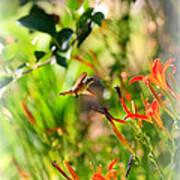 Hummingbird In The Daylilies Art Print