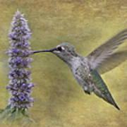 Hummingbird In The Mint Art Print