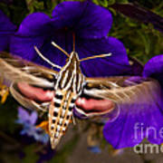 Hummingbird Moth   #8612 Art Print