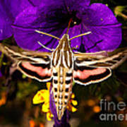 Hummingbird Moth   #8645 Art Print