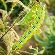 Hummingbird Moth Caterpillar Art Print