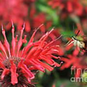 Hummingbird Moth Feeding On Red Flower Art Print