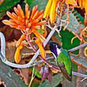 Hummingbird On Aloe In Living Desert In Palm Desert-california Art Print