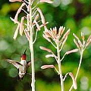 Hummingbird Pink Green - Floating Hummingbird Flashes Red Art Print