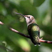 Hummingbird - Ruby-throated Hummingbird - Detail Art Print