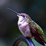 Hummingbird Sentry Art Print