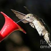 Hummingbird Sigh Art Print