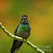 Hummingbird With A Lilac Crown Art Print