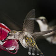 Hummingbirds In Flight Art Print by Nelson Watkins
