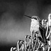 Hummy On Fence B And W Art Print