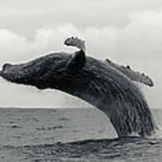 Humpback Whale Breaching Against A Art Print