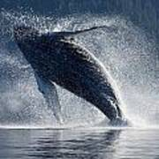 Humpback Whale Breaching In The Waters Art Print by John Hyde