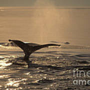 Humpback Whale Feeding Art Print