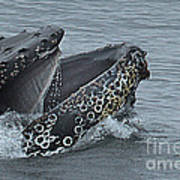 Humpback Whale  Lunge Feeding 2013 In Monterey Bay Art Print