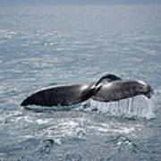 Humpback Whale Tail Art Print