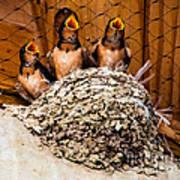 Hungry Baby Swallows - Antelope Island - Utah Art Print by Gary Whitton