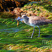 Hungry Willet Art Print