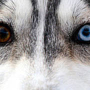 Husky Eyes Art Print