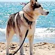 Husky On The Beach Art Print