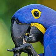 Hyacinth Macaw Anodorhynchus Art Print