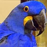 Hyacinth Macaw Portrait Art Print