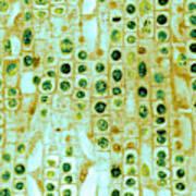 Hyacinth Root Tip Cells Art Print