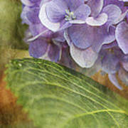 Hydrangea Portrait Art Print