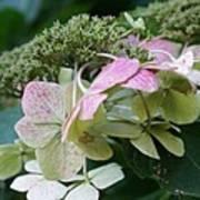 Hydrangea White And Pink I Art Print