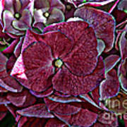 Hydrangeas In Rich Rose Color Art Print