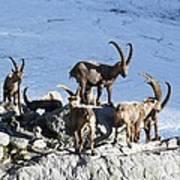 Ibex By A Glacier Art Print