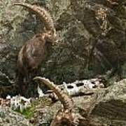 Ibex Pictures 112 Art Print