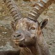 Ibex Pictures 40 Art Print