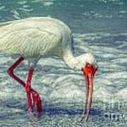 Ibis Feeding Art Print