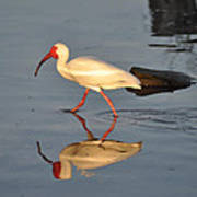 Ibis In Reflection Art Print