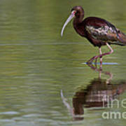 Ibis Reflection Art Print