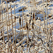Ice Coated Bullrushes Art Print