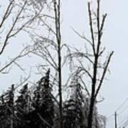 Ice Storm Poplars Art Print