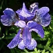 Iced Iris Art Print