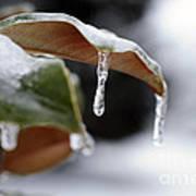Iced Magnolia Art Print