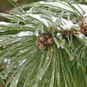 Iced Over Pine Cones Art Print