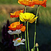 Iceland Poppies In The Sun Art Print