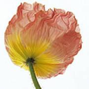 Iceland Poppy 1 Art Print
