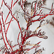 Icy Red Dogwood Art Print