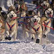 Iditarod Huskies Art Print